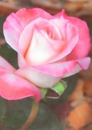 ONE $ KOALA CARD - DELICATE ROSE